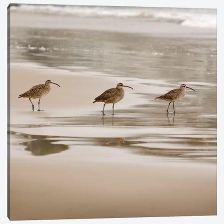 Shore Birds II Canvas Print #DEL118} by Danita Delimont Canvas Print