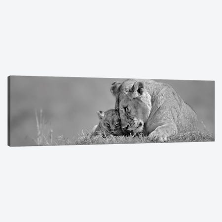 Lioness Love Canvas Print #DEL128} by Danita Delimont Canvas Artwork