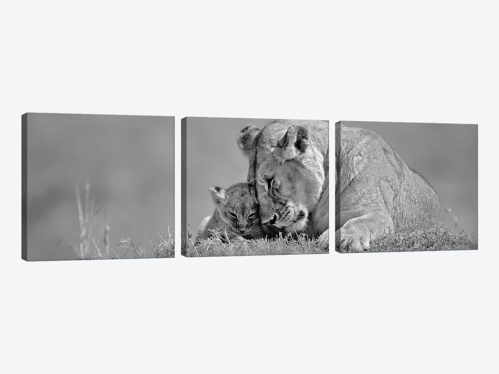 Lioness Love by Danita Delimont 3-piece Art Print