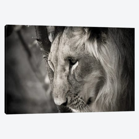 Pensive Lion Canvas Print #DEL207} by Danita Delimont Canvas Wall Art