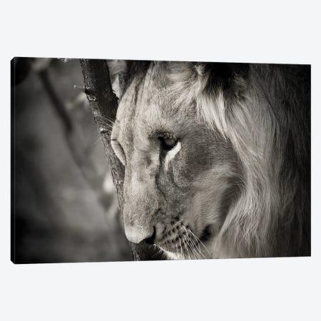 Pensive Lion Canvas Print #DEL207} by Danita Delimont Canvas Wall Art