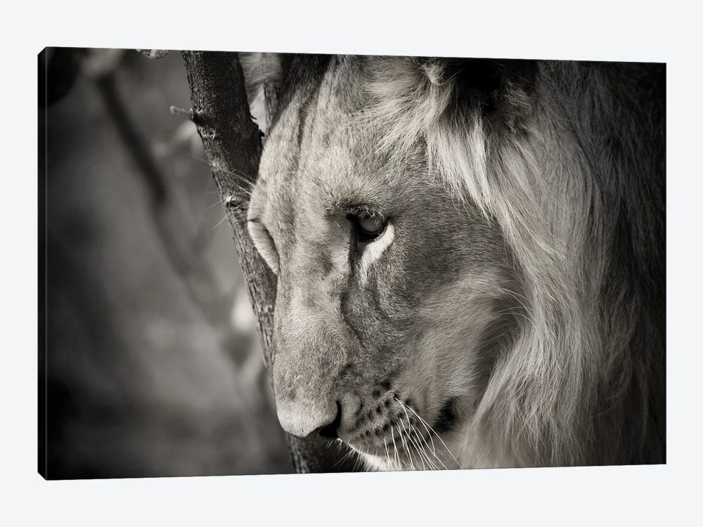 Pensive Lion by Danita Delimont 1-piece Canvas Artwork