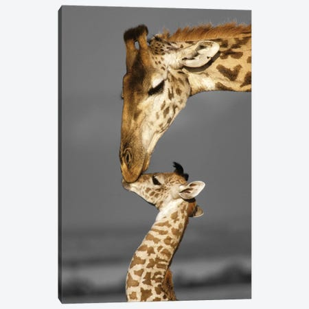 Masai Mara Giraffe Family Canvas Print #DEL38} by Danita Delimont Canvas Art