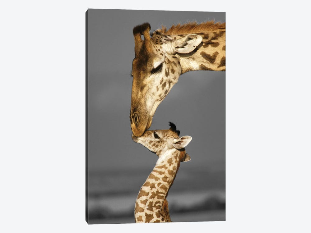 Masai Mara Giraffe Family by Danita Delimont 1-piece Canvas Wall Art