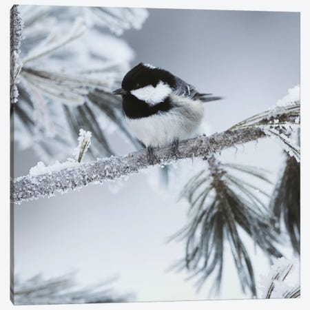 Frosty Perch Canvas Print #DEL69} by Danita Delimont Art Print