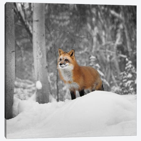 Snowy Sentinel Canvas Print #DEL75} by Danita Delimont Canvas Art Print
