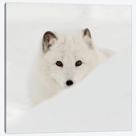Arctic Fox Canvas Print #DEL79} by Danita Delimont Canvas Artwork