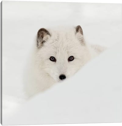 Arctic Fox Canvas Art Print