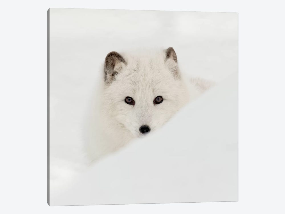 Arctic Fox 1-piece Canvas Print