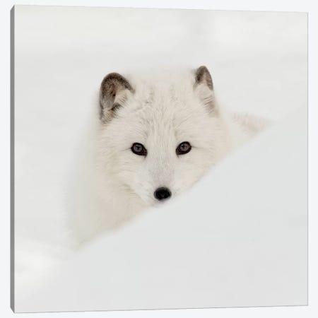 Arctic Fox Canvas Print #DEL79} by Danita Delimont Canvas Artwork