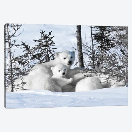 Winter Cubs Canvas Print #DEL88} by Danita Delimont Art Print