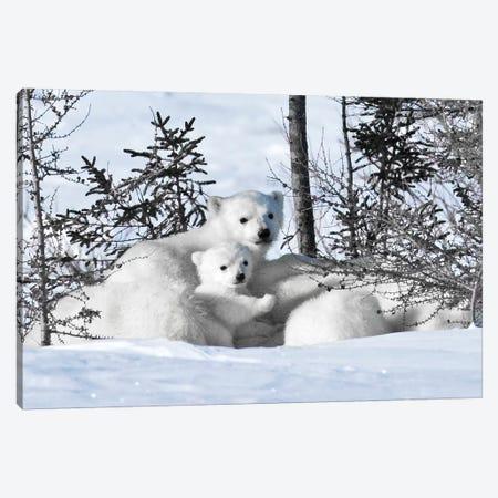 Winter Cubs Canvas Print #DEL88} by Danita Delimont Art Print