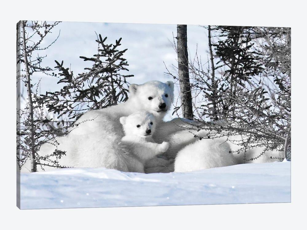 Winter Cubs by Danita Delimont 1-piece Canvas Art Print