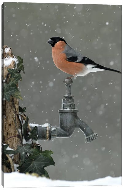 Bullfinch In The Snow Canvas Art Print