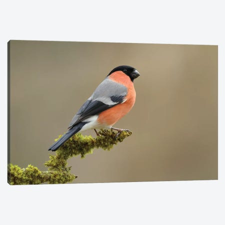 Bullfinch Male Canvas Print #DEM18} by Dean Mason Canvas Art Print