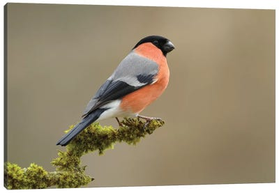 Bullfinch Male Canvas Art Print