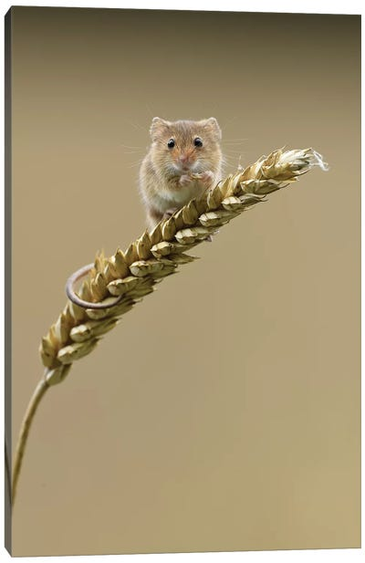 Caught In The Act - Harvest Mouse Canvas Art Print