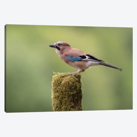 Eurasian Jay On Moss Post Canvas Print #DEM25} by Dean Mason Canvas Art Print