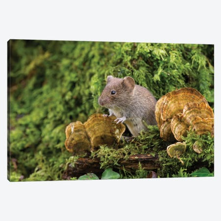 Fun Guy - Bank Vole Canvas Print #DEM29} by Dean Mason Canvas Artwork