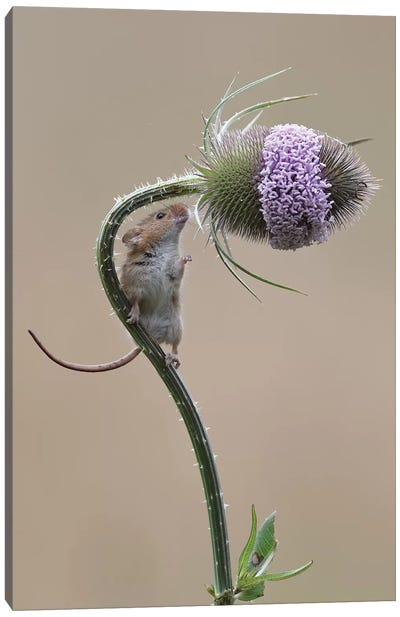 Almost There - Harvest Mouse Canvas Art Print
