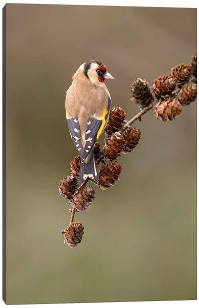 Goldfinch On Larch Cones Canvas Art Print