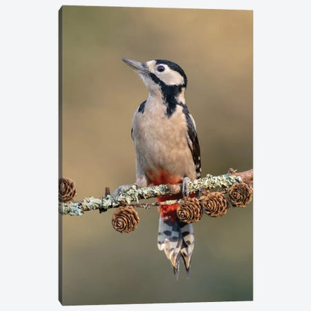 Great Spotted Woodpecker On Larch Cones Canvas Print #DEM32} by Dean Mason Canvas Print