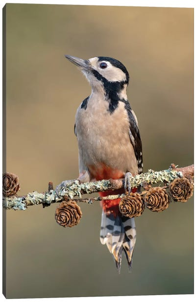 Great Spotted Woodpecker On Larch Cones Canvas Art Print
