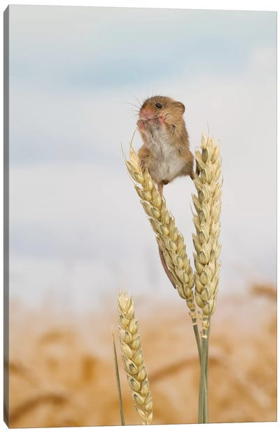 High Rise Lunch - Harvest Mouse Canvas Art Print