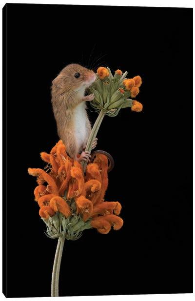 Hints Of Orange - Harvest Mouse Canvas Art Print