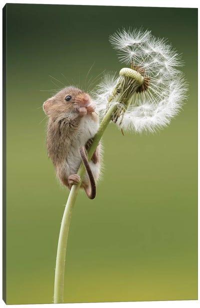 Harvest Mouse On Dandelion Clock Canvas Art Print