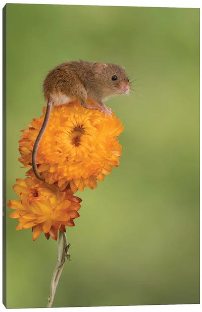 Harvest Mouse On Flower Canvas Art Print