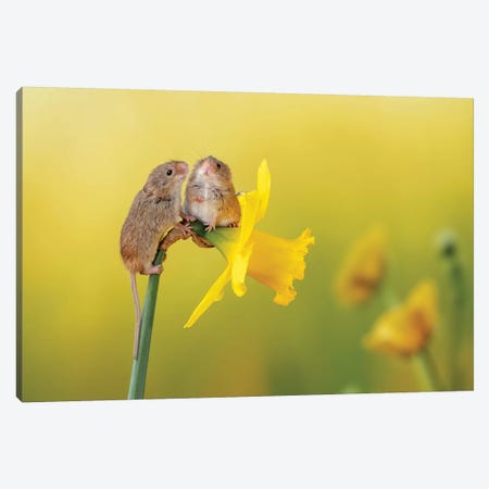 Among The Daffodils Canvas Print #DEM3} by Dean Mason Canvas Wall Art