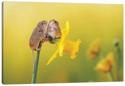 Among The Daffodils Canvas Art Print