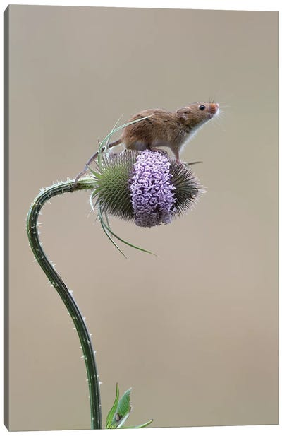 I Made It - Harvest Mouse Canvas Art Print