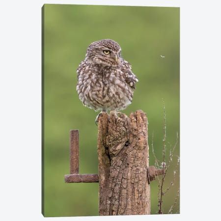 Insect Watch - Little Owl Canvas Print #DEM43} by Dean Mason Canvas Art