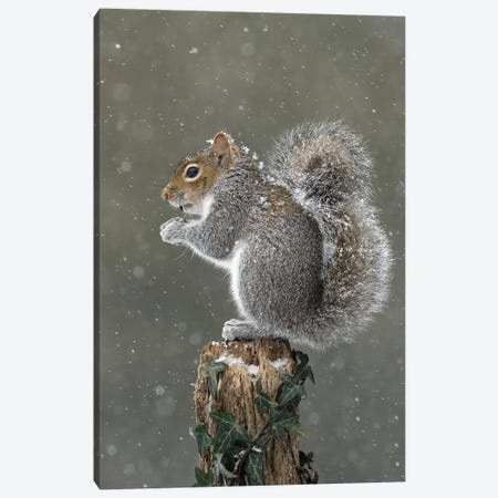 It's Cold Up Here - Grey Squirrel Canvas Print #DEM44} by Dean Mason Canvas Print