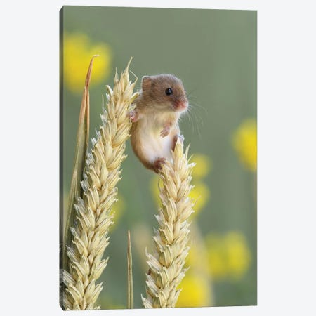 Just Chillin - Harvest Mouse Canvas Print #DEM46} by Dean Mason Art Print