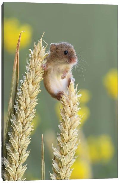 Just Chillin - Harvest Mouse Canvas Art Print