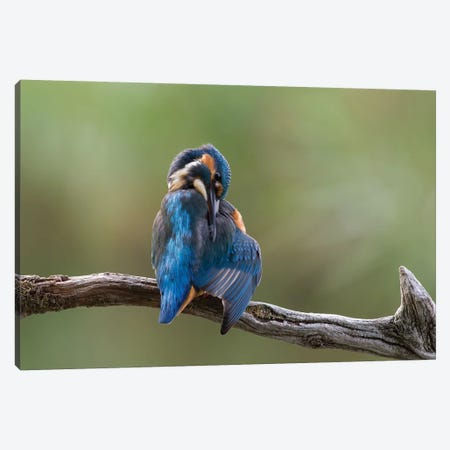 Kingfisher Preening Canvas Print #DEM48} by Dean Mason Canvas Art