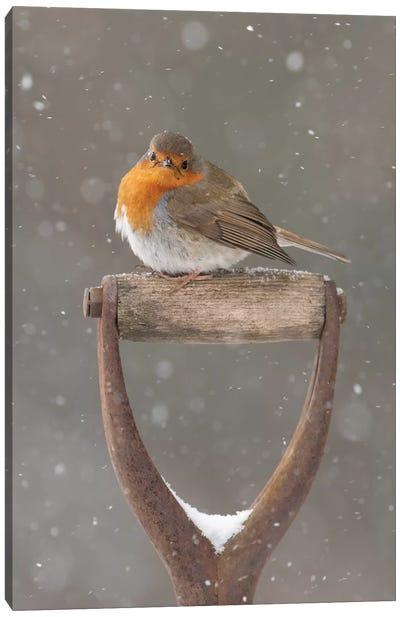 Little Poser - Robin Canvas Art Print