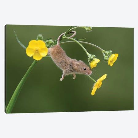 And Stretch - Harvest Mouse Canvas Print #DEM4} by Dean Mason Canvas Art Print