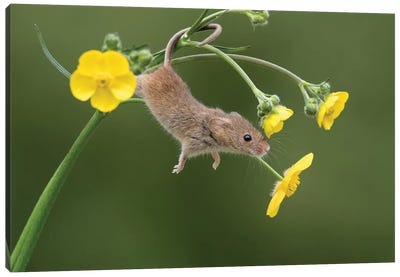 And Stretch - Harvest Mouse Canvas Art Print