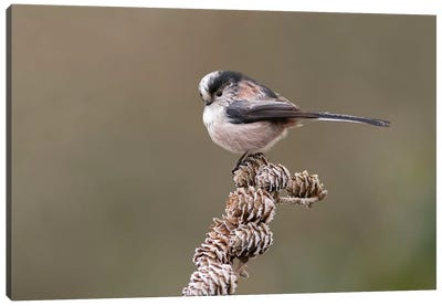 Long Tailed Tit On Larch Cones Canvas Art Print