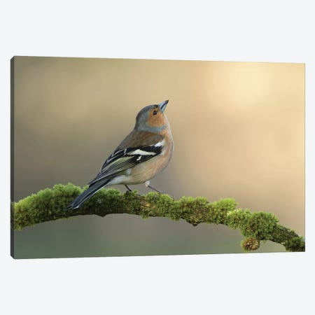 Male Chaffinch Canvas Print #DEM51} by Dean Mason Canvas Print