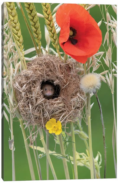 Nesting With Poppies Canvas Art Print