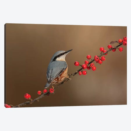 Nuthatch And Berries Canvas Print #DEM58} by Dean Mason Canvas Print