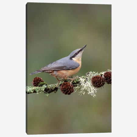 Nuthatch On Larch Cones Canvas Print #DEM59} by Dean Mason Art Print