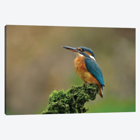 Proud Kingfisher Canvas Print #DEM67} by Dean Mason Canvas Art Print