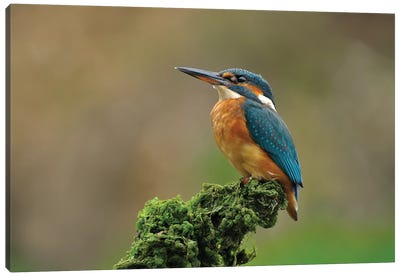 Proud Kingfisher Canvas Art Print