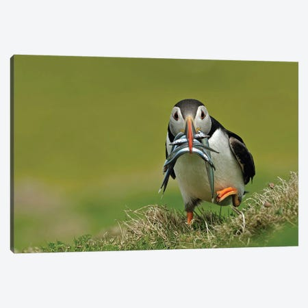 Puffin On The Run Canvas Print #DEM68} by Dean Mason Canvas Wall Art